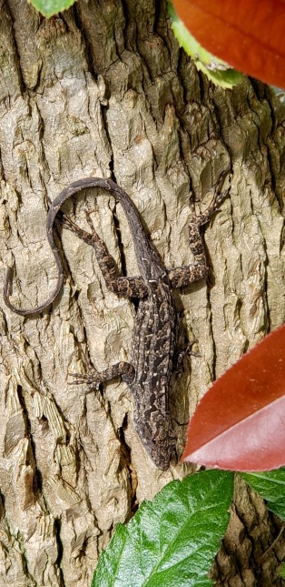 Lizard climbing down palm (© image. Copyrighted, all rights reserved, NO permissions granted)