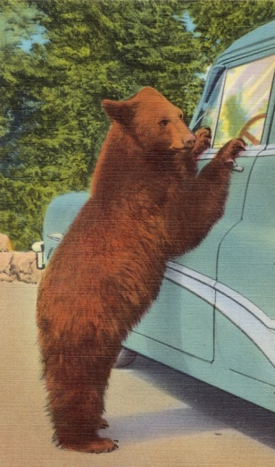 Bear begging by vintage car. Holdup bear at Yellowstone National Park. Postcard (1930-1945 Tichnor Brothers collection, Boston Pub.Lib.(USPD. pub.date, artist life/Commons.wikimedia.org)