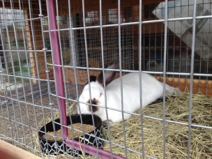 white and black bunny (© image copyrighted, no permissions granted , all rights reserved)