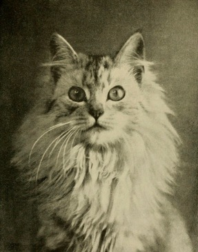 Persian cat staring. 1907. book illustration/LoC/USPD.pub.date, artist life.Commons.wikimedia.org)