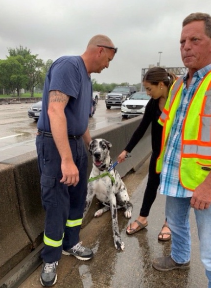 Great Dane Duke and his rescuers by the Gulf Freeway's HOV lane in computer traffic. (Wrigley/FB/Twitter/ABC13 news)