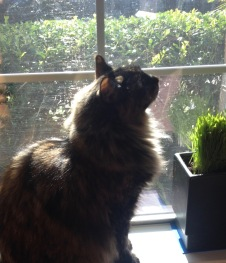 Long haired cat sitting in front of window. (© image. Copyrighted. NO permissions granted, ALL rights reserved)