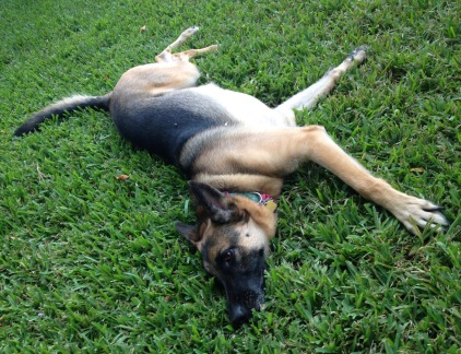 German Shepherd sprawled across lawn. (© Image copyrighted, all rights reserved, no permissions granted)
