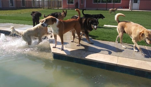 Pack of assorted dog friends walking by salt water pool (Image: copyrighted, All rights reserved, NO permissions granted)