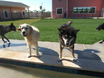 Dogs ready to jump in pool (copyrighted, no permissions granted, all rights reserved