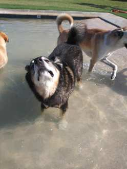 Husky Malamute looking at sky while standing in pool (image copyrighted, no permissions gratned, all rights reserved)
