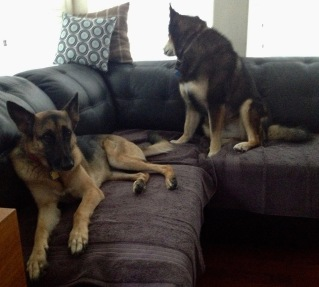 Two dogs on couch. German Shepherd and Malamute ignoring speaker. (© image. Copyrighted. NO permissions granted. All rights reserved)