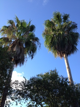 Palms against blue sky. (© image. All rights reserved, copyrighted, No permissions granted)
