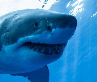 Great White Shark (Sharkcrew/Commons.wikimedia.org)