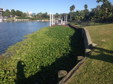 Invasive plants floating along bulkhead and dock. (© image. all rights reserved, copyrighted, no permissions granted)