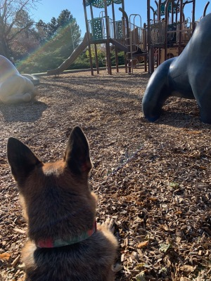 seated German Shepherd with big alert ears watching playground (© image. All rights reserved. Copyrighted, No permissions granted, AllL rights reserved)