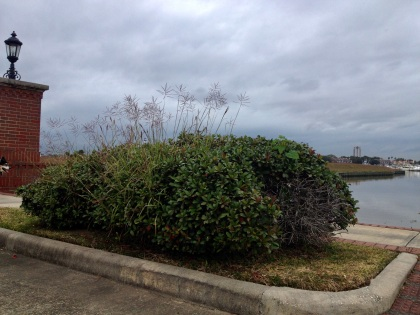 Energetic weed waving in the middle of a neatly trimmed landscaped bush. (© image : copyrighted, all rights reserved, No permissions granted)