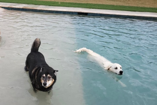 Two dogs swimming. (© image: copyrighted, all rights reserved, No permissions granted )