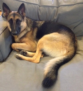 Worried German Shepherd curled up on couch. (© image copyrighted, all rights reserved, no permissions granted.)
