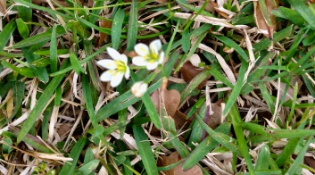 wild flowers. Two white onion flowers (© image. copyrighted, all rights reserved, no permission granted