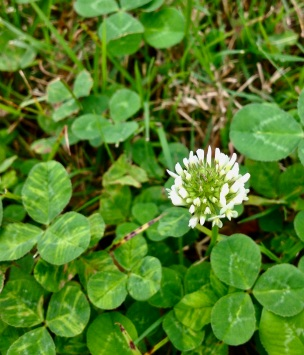 Wild flower. White clover. (© image copyrighted, all rights reserved, NO permissions granted)