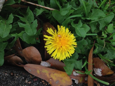 Wild flower. Yellow dandelion among leaves (© image copyrighted, all rights reserved, no permissions granted)