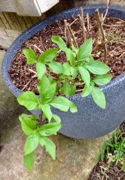 Basil plant. (© image copyrighted, all rights reserved, No permissions granted )
