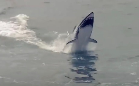 Shark leaping out of water. (Shark image seabreacher.com)
