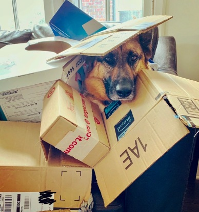 German shepherd buried in cardboard box fort (© image. all rights reserved, copyrighted)