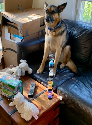 German Shepherd sitting on couch in Time Out with timers on coffee table (© image.Copyrighted. No permissions granted. All rights reserved)