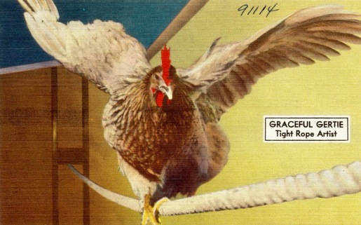 Chicken performer. Graceful Gertie tight rope artist. TIchnor Brothers psotcard. (USPD. artist life, pub.date/Commons.wikimedia.org)