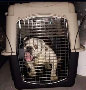 Happy Bull dog in crate. (Houston SPCA image)