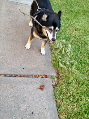 Dog with big grin holding stick on sidewalk (© image copyrighted, all rights reserved, no permissions granted)