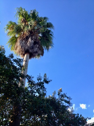 Fan palm against blue sky. (© image copyrighted, all rights reserved, no permissions granted)