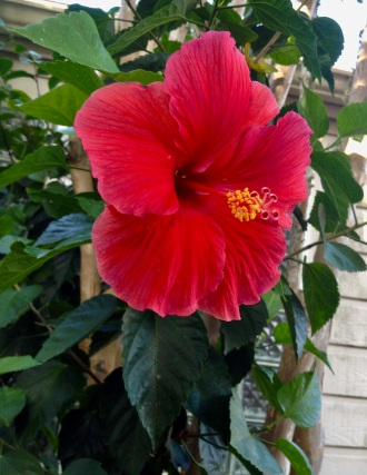 Red Hibiscus flower. (© image copyrighted, all rights reserved, no permissions granted)