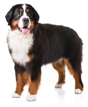 Bernese Mountain Dog. (AKC website image)