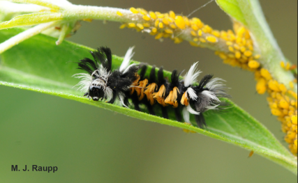 Bug. Another weird caterpillar (Image MJ Raupp)