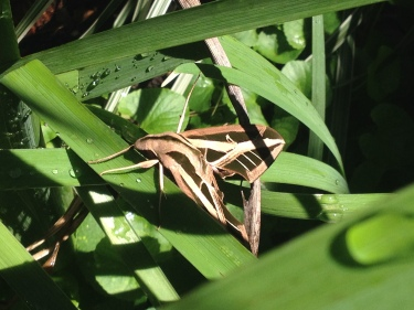 Side view of Banded Sphinx Moth among irises. (© Image copyrighted, all rights reserved, no permissions granted)