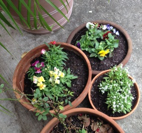 Winter flowers potted and ready to righten grey days (© image. Copyrighted. all rights reserved. NO permissions granted)
