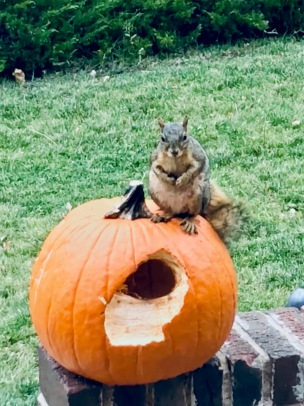 Pumpkin carved by squirrel. (© image. Copyrighted, all rights reserved. NO permissions granted.