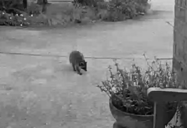 Raccoon on driveway (© image. Copyrighted, all rights reserved. NO permissions granted )