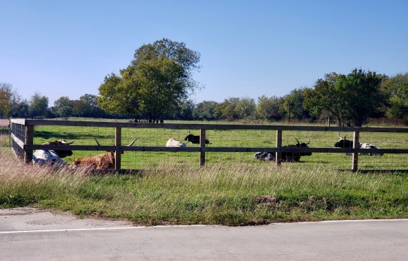 Long horns in pasture. (© image: copyrighted, all rights reserved, no permissions granted)