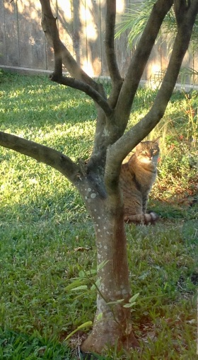 """""""What? Of course, I am one surprised cat. There was no advanced warning this was an interview before a committee."""" (© image).Surprised Cat seated in backyard. ( image copyrighted,, no permissions granted, all rights reserved)"""