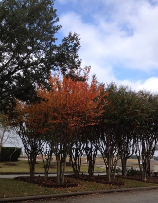 Crepe Myrtle tree turns scarlet at Christmas time before going dormant. (© image. Copyrighted, all rights reserved. No permissions granted)