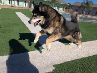 Dog. Molly Malamute leaping like a reindeer (© image. Copyrighted, all rights reserved, no permissions granted)