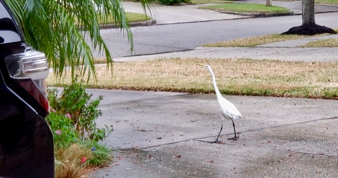 White bird strutting down driveway. (© image copyrighted, all rights reserved, no permissions granted)