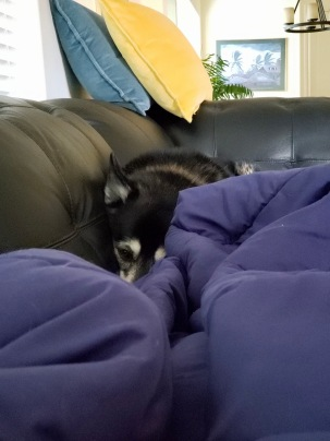 dog. Molly Malamute buried in blanket on couch (© image. Copyrighted, all rights reserved, No permissions granted)